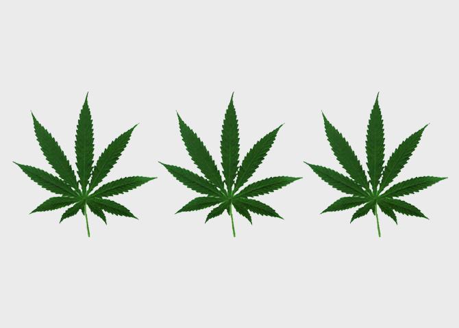 Конопля кормовое растение если сын курил коноплю то он наркоман или нет